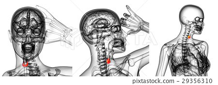 3d rendering illustration of the  thyroid gland 29356310