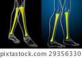 3d rendering medical illustration of tibia bone 29356330