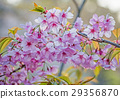 Cherry blossom in spring season, Japan. 29356870