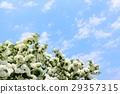 藍天 繡球花 盛開 29357315