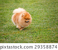Spitz dog walking 29358874