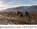 a Horse walking in the field at farmland in winter 29358976
