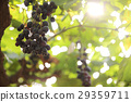 bunch with grapes and trees 29359711