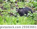 bear, brown, shiretoko 29363661