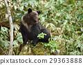 坐在樹樁上的野熊(知床) 29363888