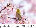 河津樱 樱花 樱桃树 29366873