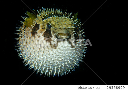 Inflated porcupine puffer ball fish isolated black 29368999