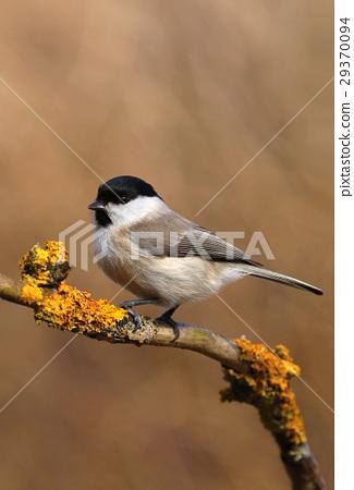 Tit Parus palustris 29370094