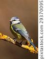 Cute bluetit on branch 29370095