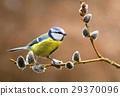 Bluetit on willow branch 29370096