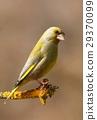 Green finch Carduelis chloris 29370099