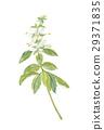 羅勒 羅勒屬植物 香草 29371835