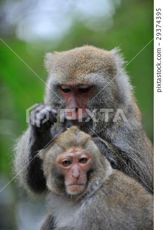 猴子,台灣獼猴,毛,野生動物 29374395