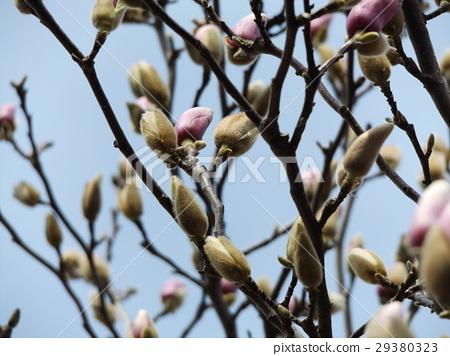 목련, 꽃, 플라워 29380323