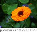 bloom, blossom, blossoms 29381173