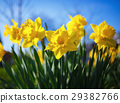 Yellow narcissus flowers 29382766