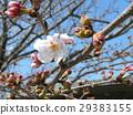 樱花 樱桃树 樱花盛开 29383155