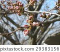 樱花 樱桃树 樱花盛开 29383156