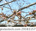 樱花 樱桃树 樱花盛开 29383157
