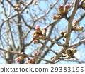 樱花 樱桃树 樱花盛开 29383195