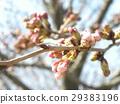 樱花 樱桃树 樱花盛开 29383196