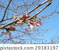 樱花 樱桃树 樱花盛开 29383197