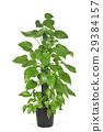 Epipremnum aureum plant or golden pothos 29384157