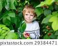 little kid boy picking fresh berries on organic 29384471