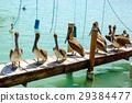 Big brown pelicans in Islamorada, Florida Keys 29384477