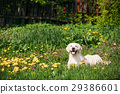 Funny Young Happy Labrador Retriever Sitting In 29386601
