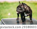 Young Black French Bulldog Dog Standing On Show 29386603