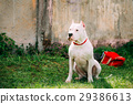 White Dog Of Dogo Argentino Also Known As The 29386613