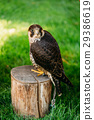 The peregrine falcon on green grass background  29386619