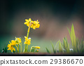 narcissus flowers spring background  29386670