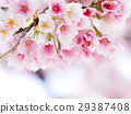 cherry blossom, cherry tree, bloom 29387408