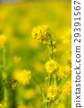 유채 꽃밭 29391567