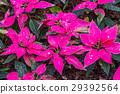 all pink Poinsettias in garden 29392564