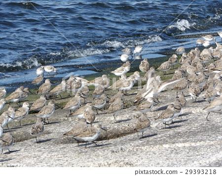 三趾滨鹬 候鸟 白色 29393218