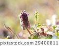 lamium, purpureum, purple 29400811