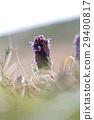 lamium, purpureum, purple 29400817