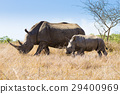 White rhinoceros with puppy, South Africa 29400969