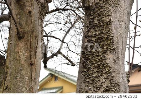 목련 나무에 핀 버섯 29402533