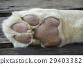 Close up of a white lion paw 29403382
