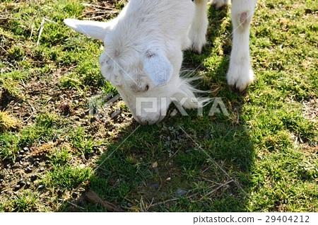 goat 29404212
