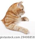 Red domestic cat 29406858