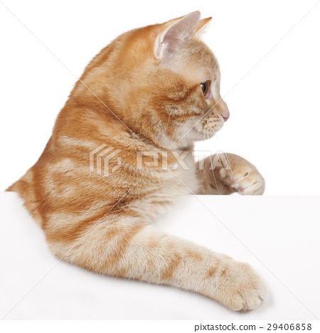 Red domestic cat 29406858