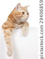 Red domestic cat 29406859