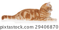 Red domestic cat 29406870