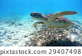 ภาพถ่ายใต้ท้องทะเลของเต่าทะเลทาคาชิ Tokidaka ที่เกาะ Tokashiki, โอกินาวา 29407498