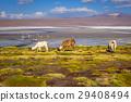 Lamas herd in Laguna colorada, sud Lipez, Bolivia 29408494